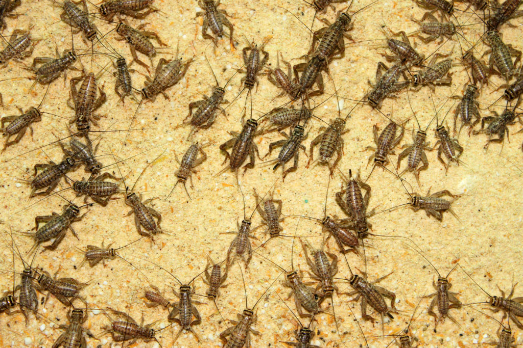 How to Get Rid of Crickets in Las Vegas