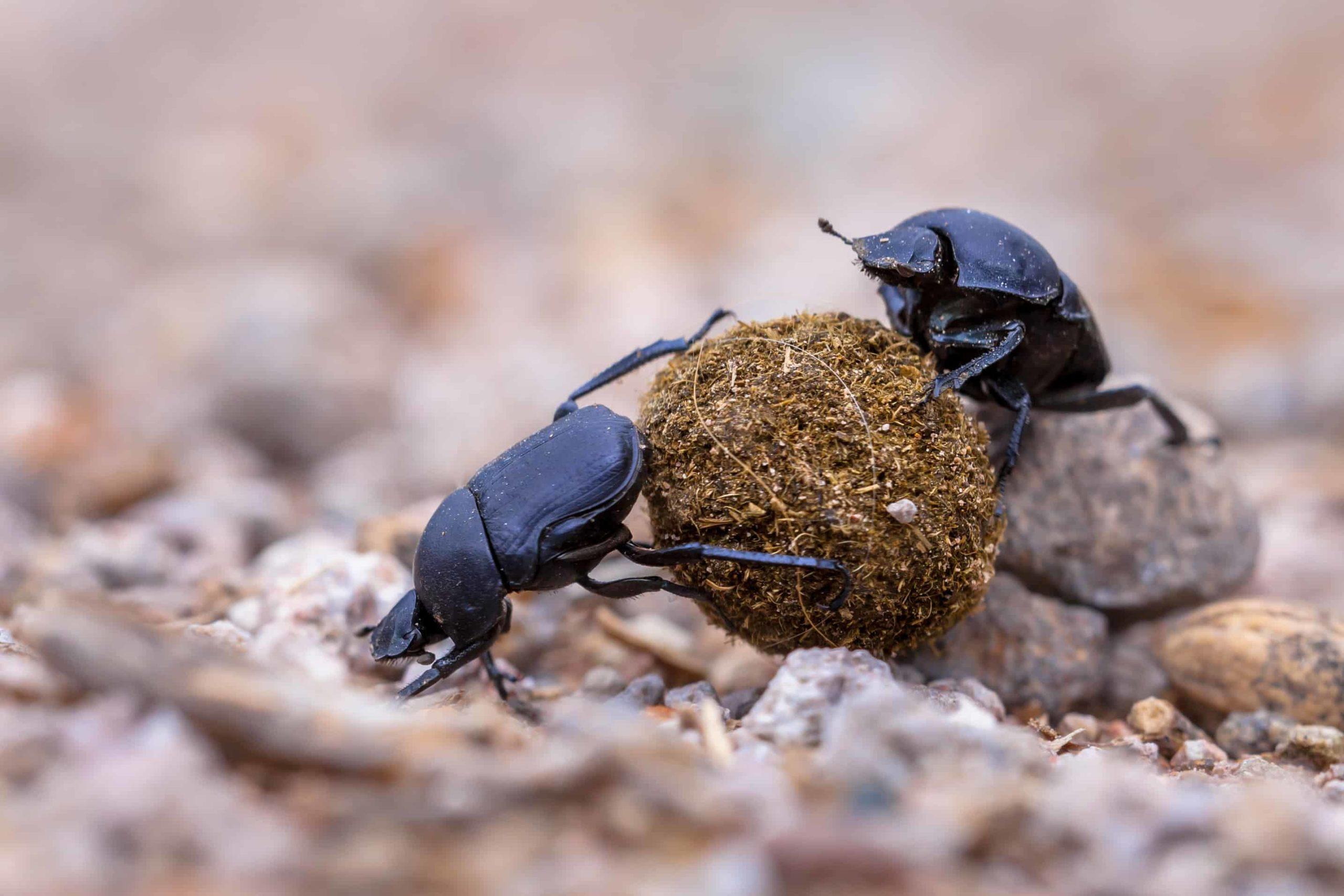 Beetle Pest Control in Las Vegas | Newmans Pest Control
