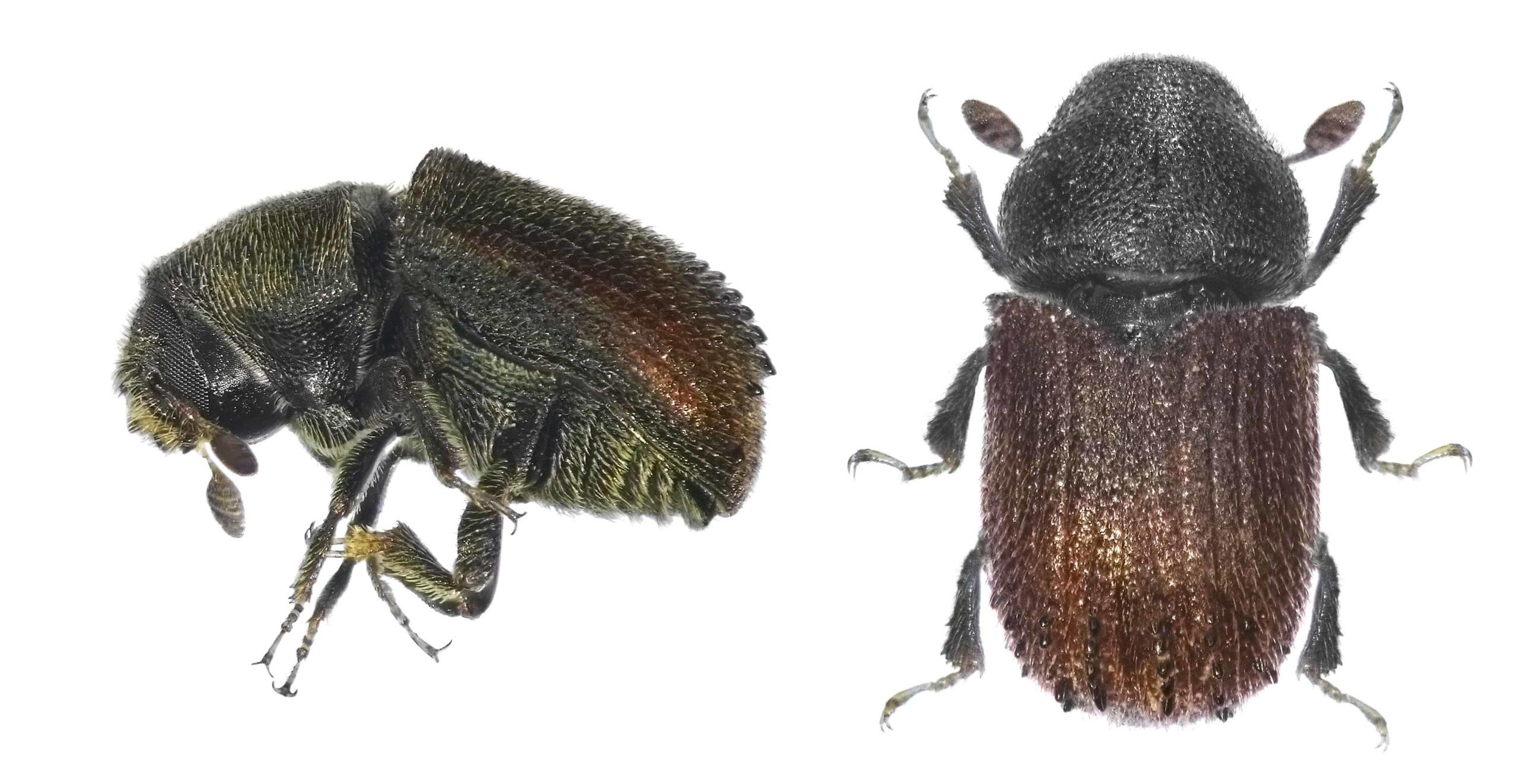 Black Beetle In Nevada