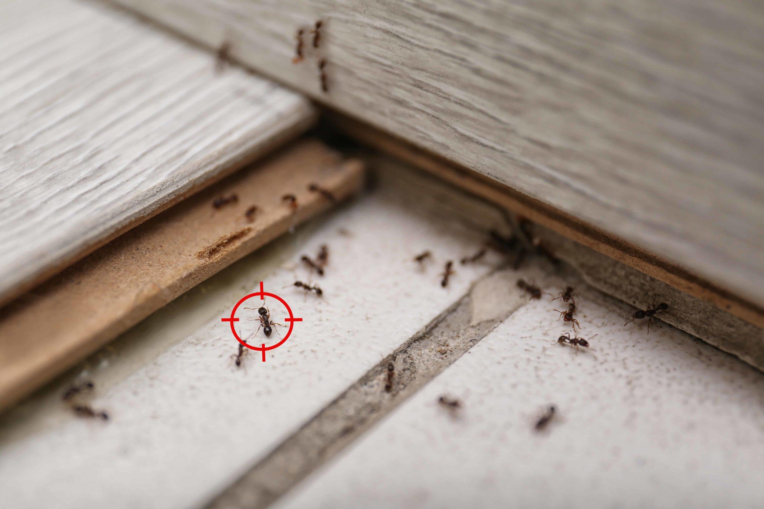 Ant Removal in Las Vegas