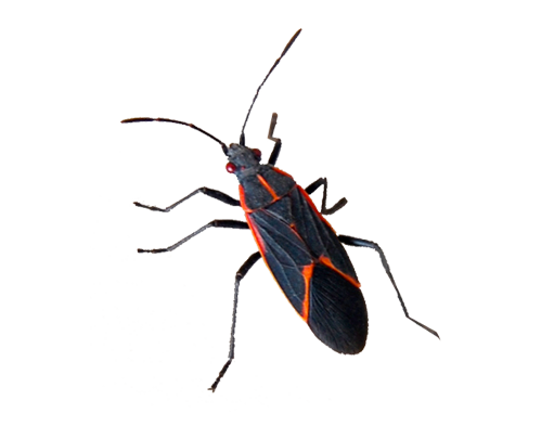 Boxelder Bugs in Las Vegas Nevada