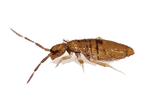 How to Get Rid of Springtails in Las Vegas