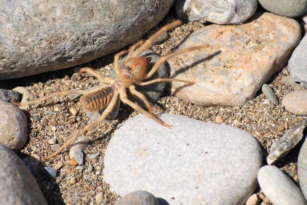 Sun Spiders in Las Vegas